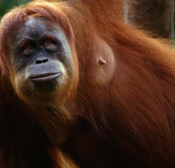 Top 5 Indonesian jungles to hang with orang-utans