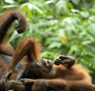Bag-snatchers of Borneo