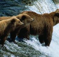 Grizzly, moi?: bear-watching on Kodiak Island