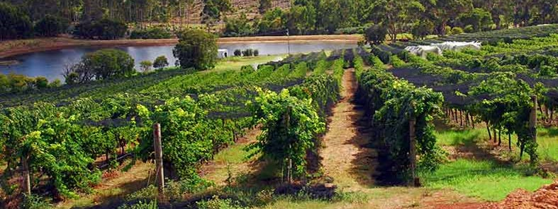 Vineyard by Robert Young
