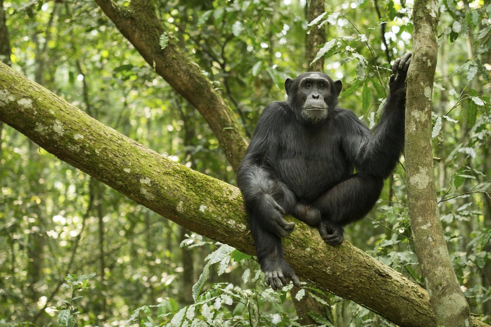 Chimpanzee in Kibale Forest National Park.