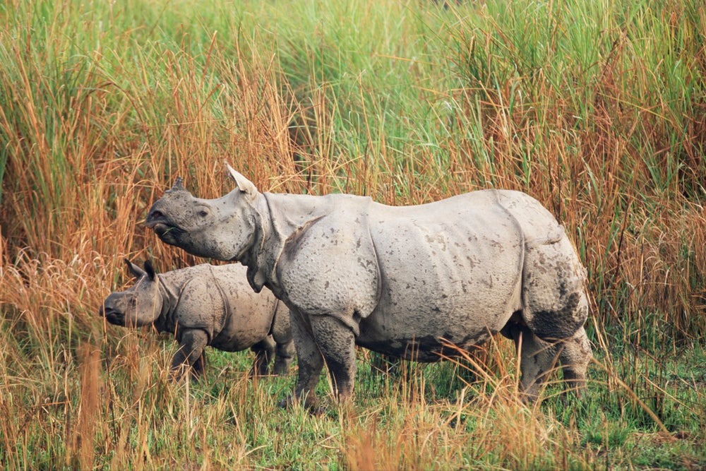 Indian one-horned rhinoceros, Kaziranga National Park, Assam