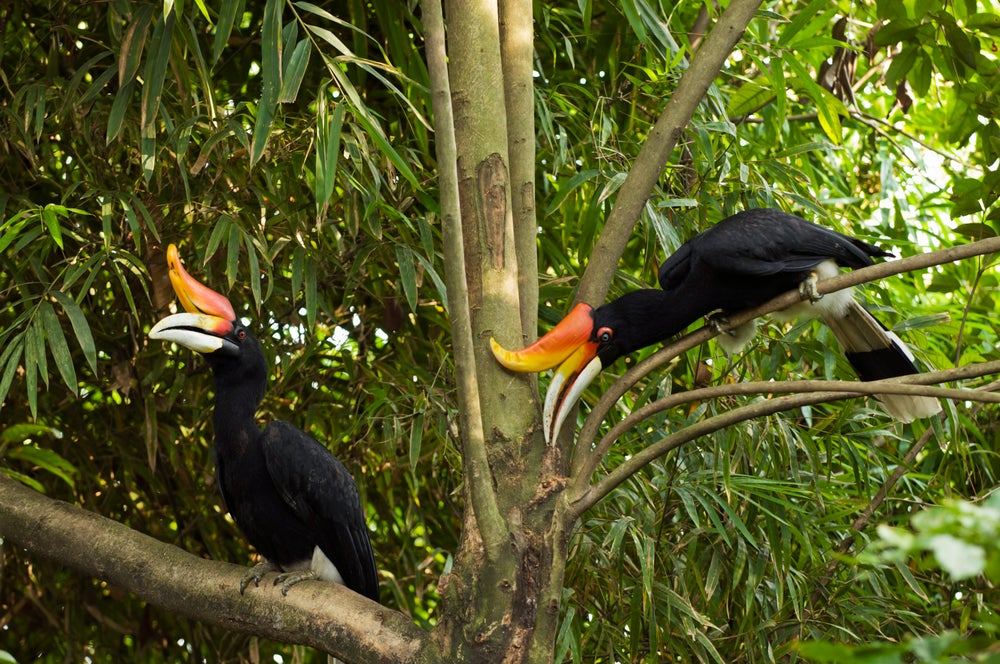 Two rhinoceros hornbills at KL Bird Park.