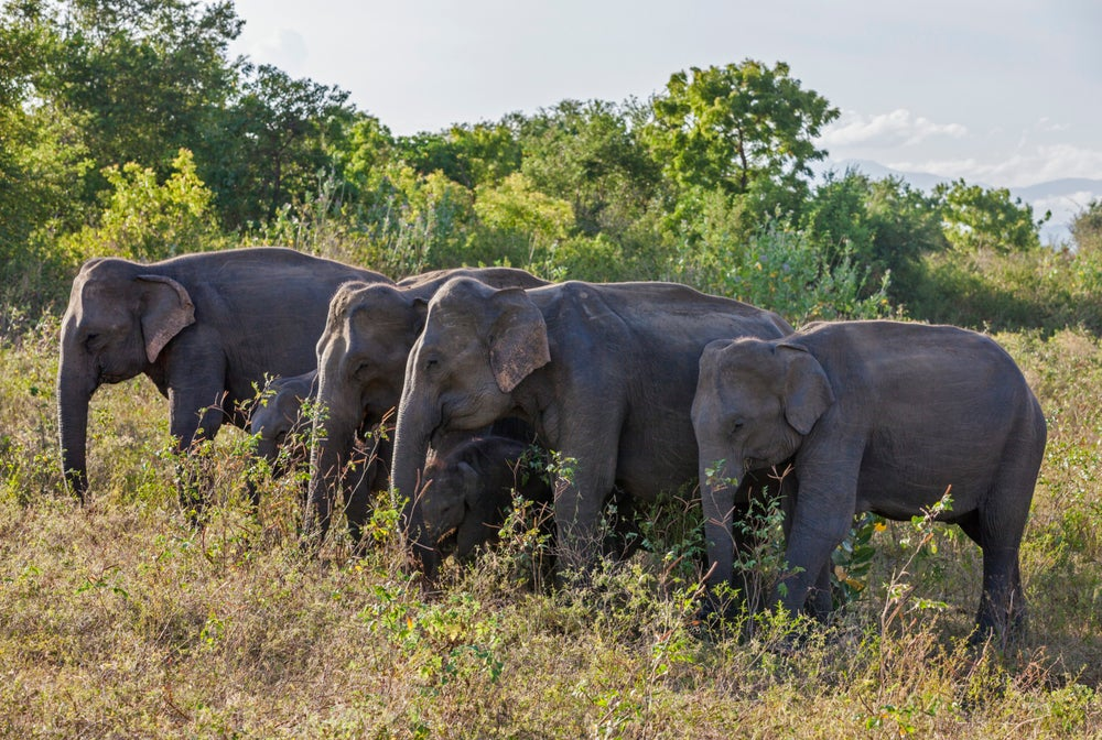 Elephants in Uda Walawe National Park, Sri Lanka