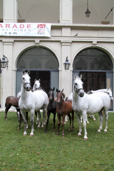 Lipizzaner horses at the Spanish Riding School in Vienna.