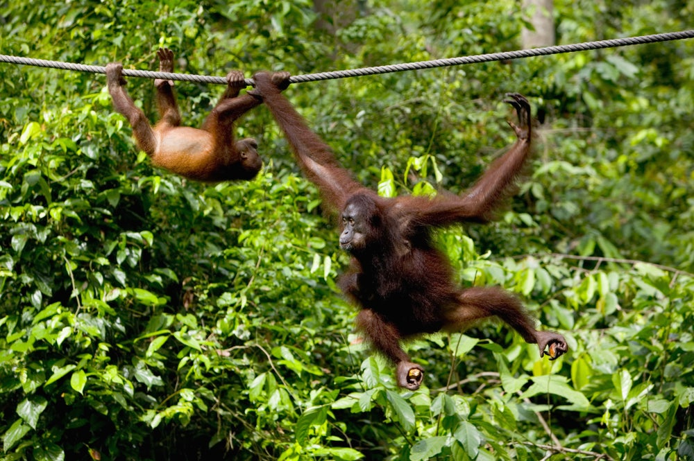 Apes swinging on a rope at Sepilok Orang-Utan Rehabilitation Centre.
