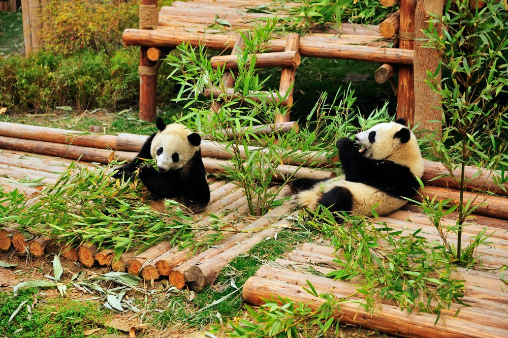 Giant Panda Breeding Research Base.