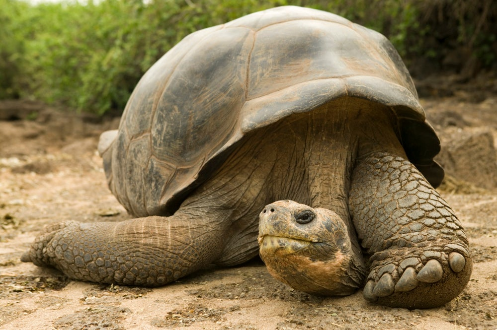 Galapagos giant tortoise at the Charles Darwin Research Station.