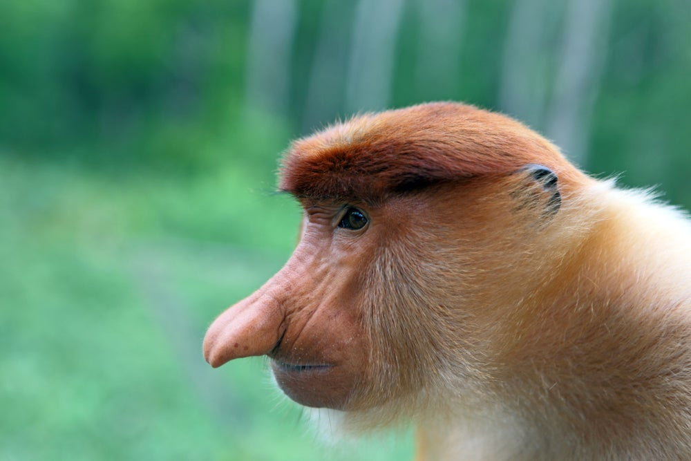 Labuk Bay Proboscis Monkey Sanctuary.