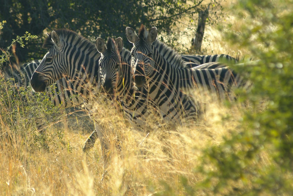 Zebras in Mahango Game Reserve.