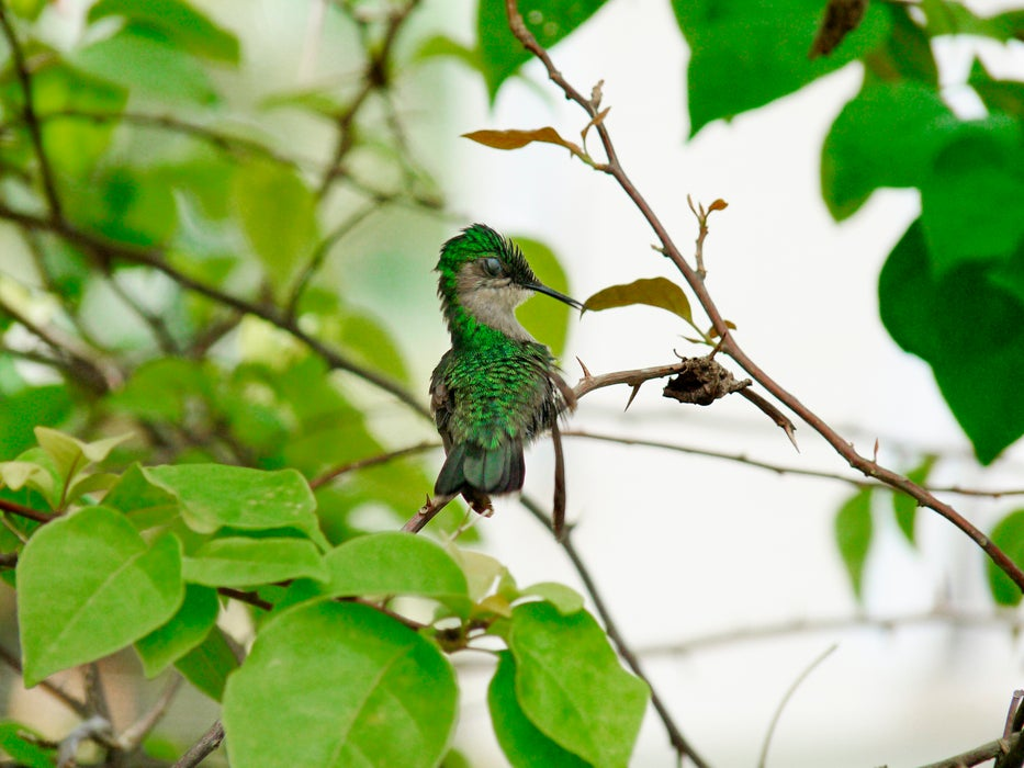 Antillean crested hummingbird sitting on tree branch.