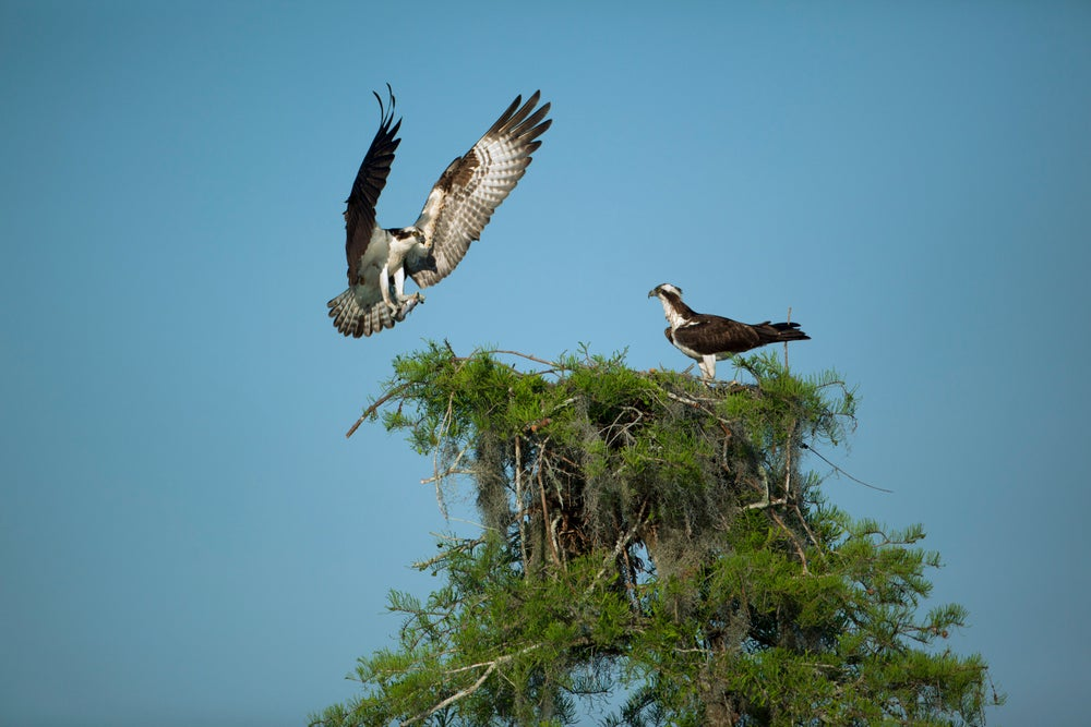 Osprey landing on nest in Atchafalaya Basin near Henderson.