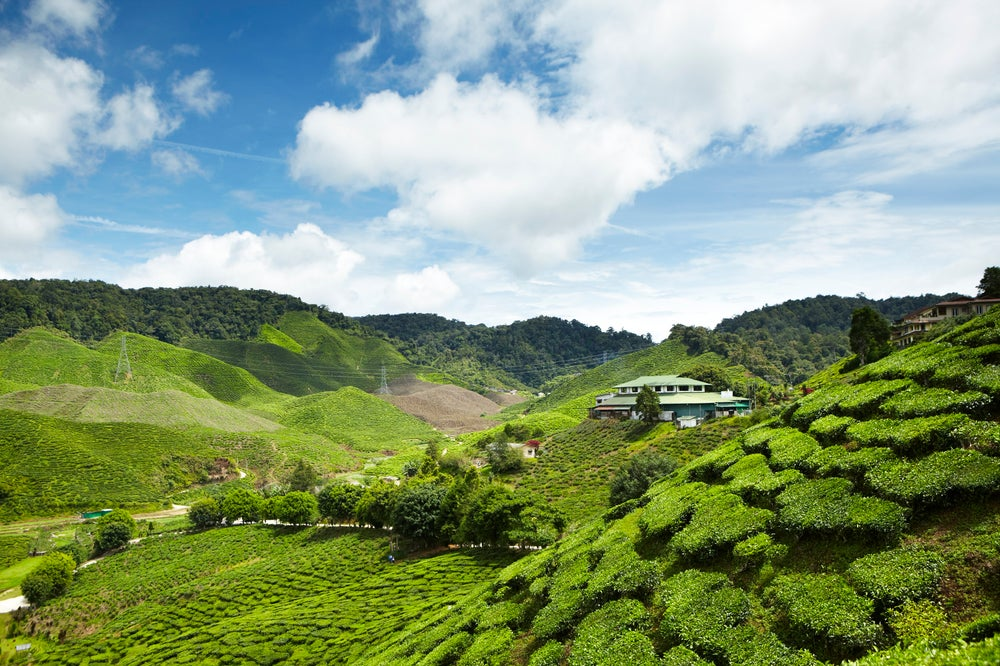 Overview of tea plantation.
