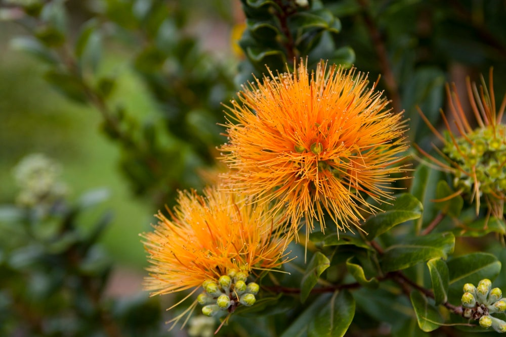 Rare orange ohia flower, Greenwell Ethnobotanical Gardens, Kona Coast.