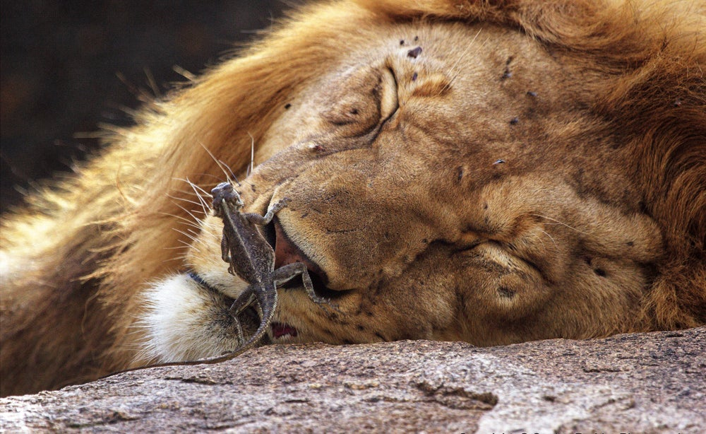 Lion asleep with lizard on nose.