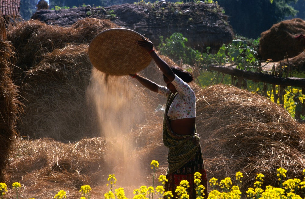 Tharu people at work in the fields.