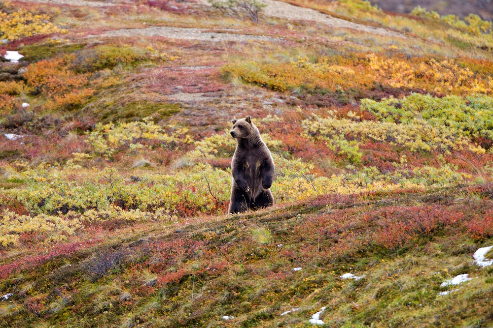 Grizzly bears are the pre-eminent predators in Denali National Park.
