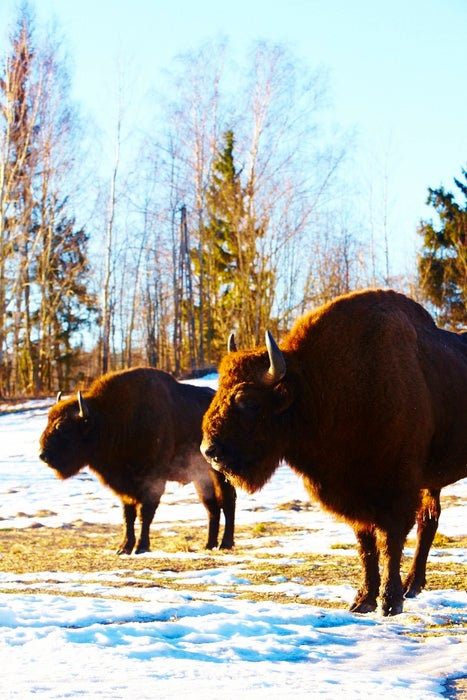 European bison in snow covered forest clearing.