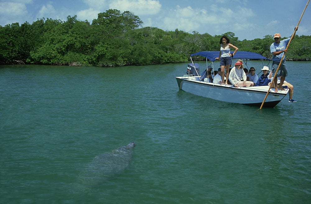 A manatee at Swallow Caye Wildlife Sanctuary.
