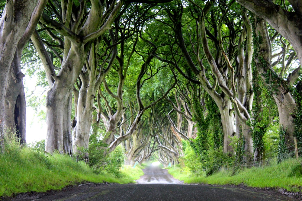 Twisted branches of beech trees on Dark Hedges leading to Gracehill House in Stanocum, Ballymoney.