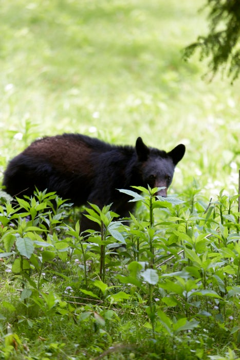 A brown bear in Great Smokey Mountains National Park.