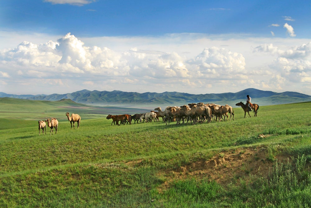 Mongolian shepard herding cattle, horses and camels.