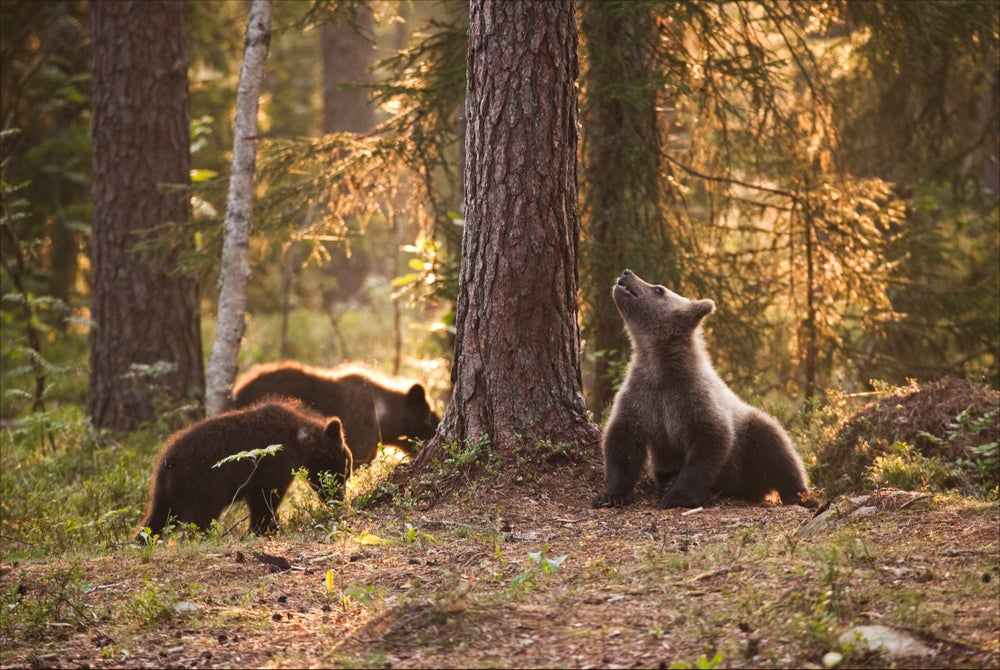 Bear cubs in Taiga forest near Russian border.
