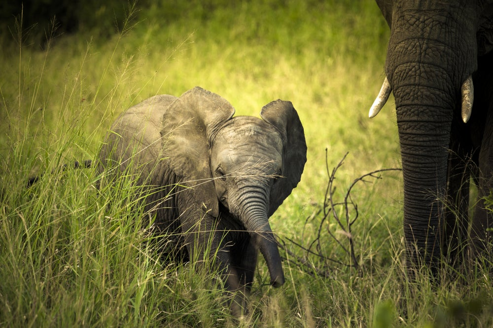 Baby elephant in Great Limpopo Transfrontier Park.