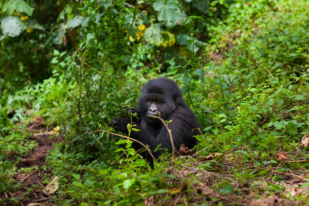 Kwitonda gorilla sitting in amongst jungle foliage.