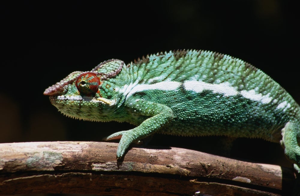 Male Panther Chameleon (Furcifer pardalis).