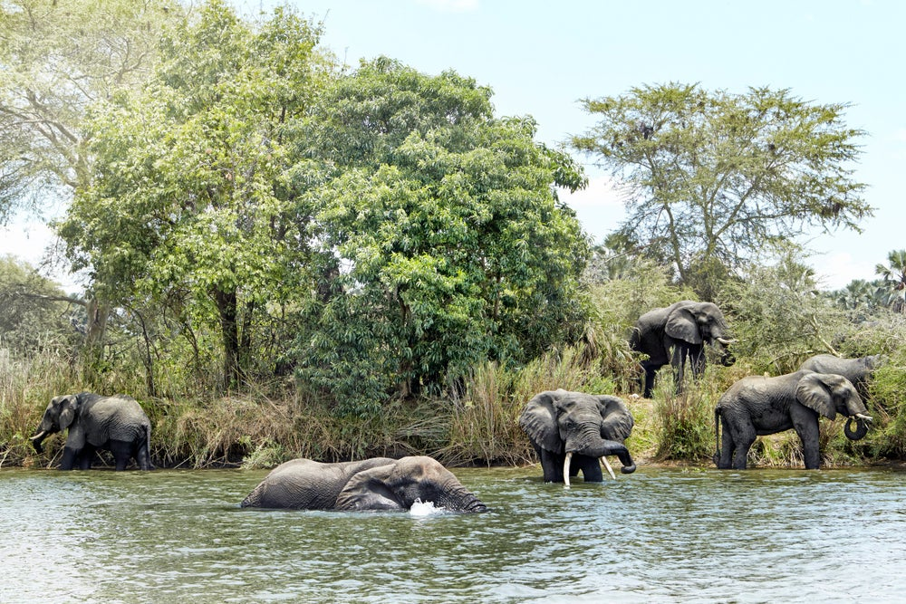Group of male elephants cooling off in Shire River.