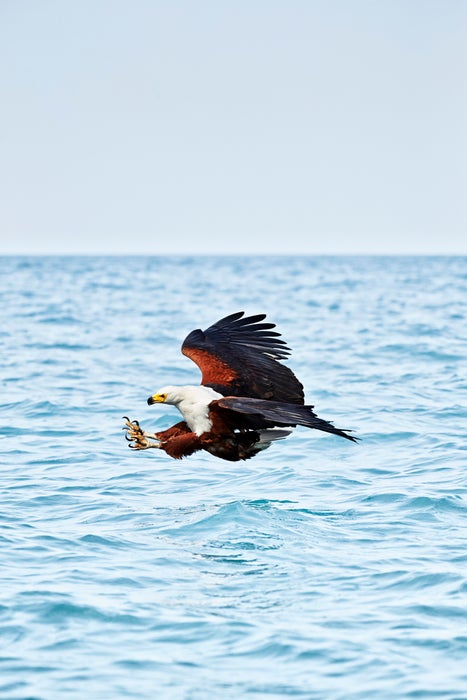 Eagle flying over water.