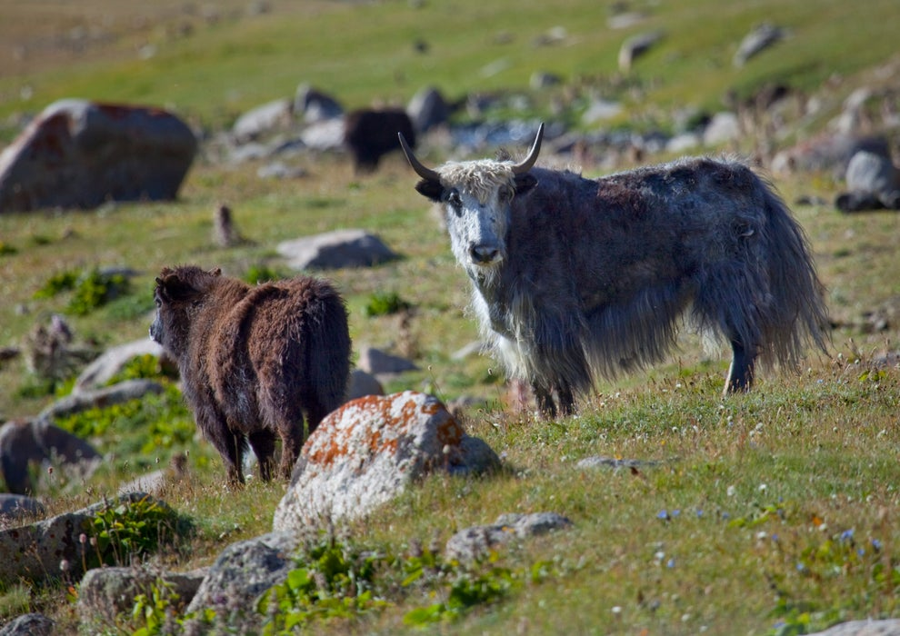 Yak grazing in pastures near Song-Kol lake.